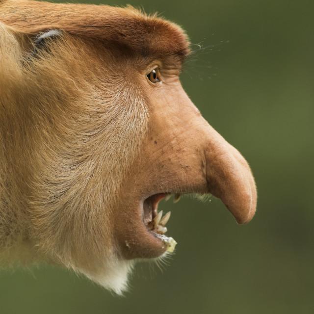 """""""Proboscis monkey"""" stock image"""