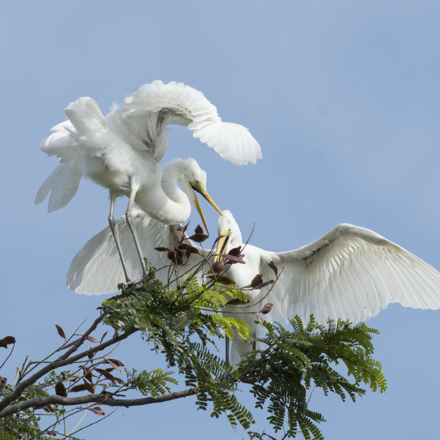 """Mating egrets"" stock image"
