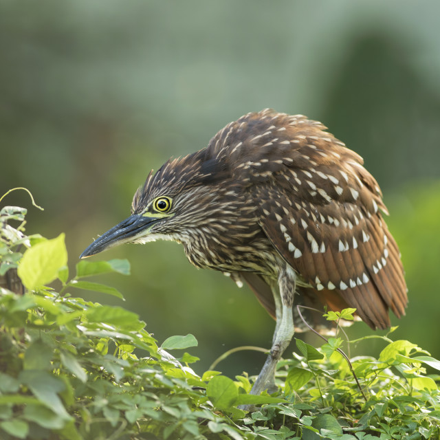 """Rufous Night Heron"" stock image"