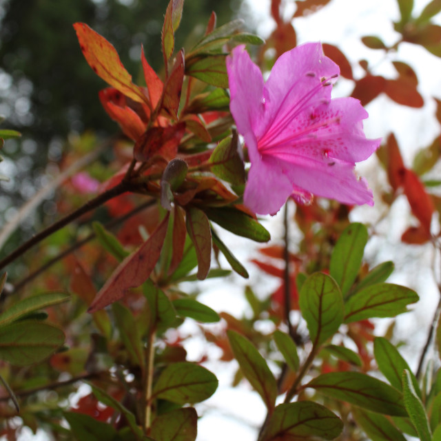 """""""pink flower and fall leaves"""" stock image"""
