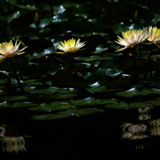"""Four Yellow Lotus Flowers in Japan"" stock image"