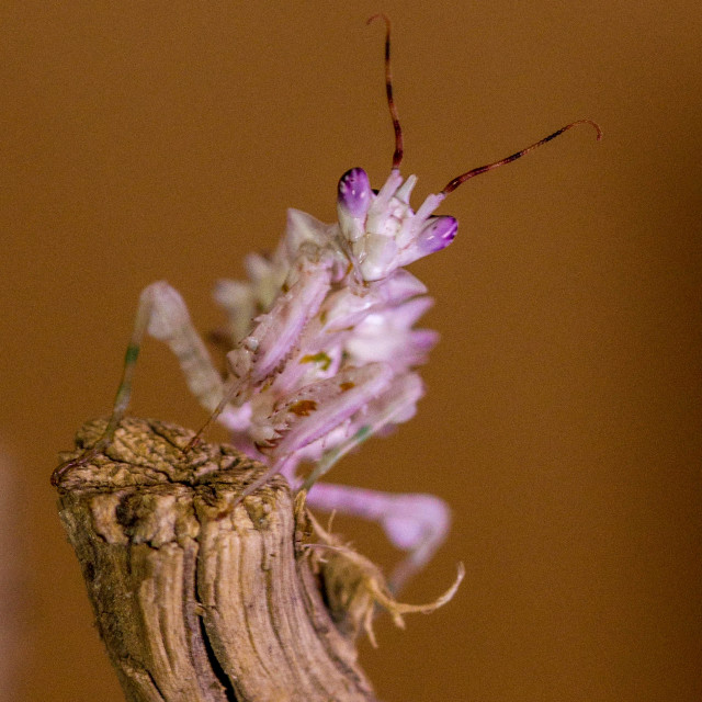 """Spiny Flower Mantis"" stock image"