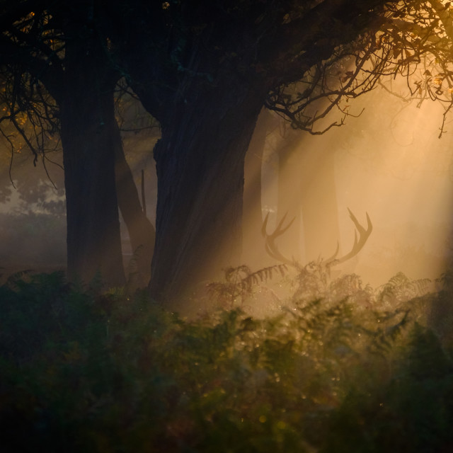 """Sunrise in Richmond Park"" stock image"