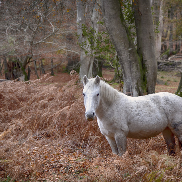"""New Forest Pony"" stock image"
