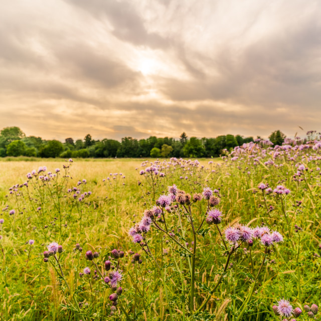 """""""Thistle in a field near Ham, West London"""" stock image"""