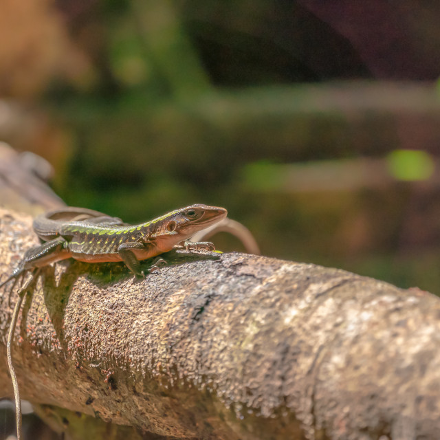 """Delicate Ameiva (Holcosus leptophrys) lizard"" stock image"