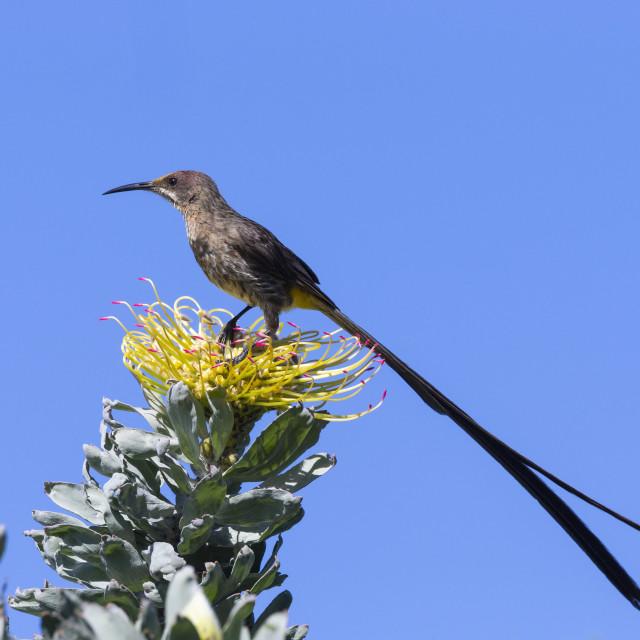 """Cape sugarbird (Promerops cafer), Kirstenbosch National Botanical Garden,..."" stock image"