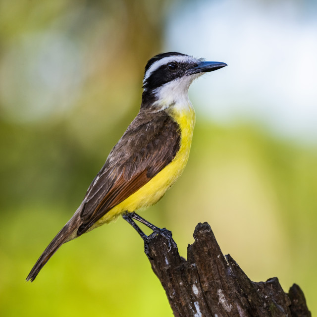 """Great Kiskadee (Pitangus Sulphuratus), Boca Tapada, Alajuela Province, Costa..."" stock image"