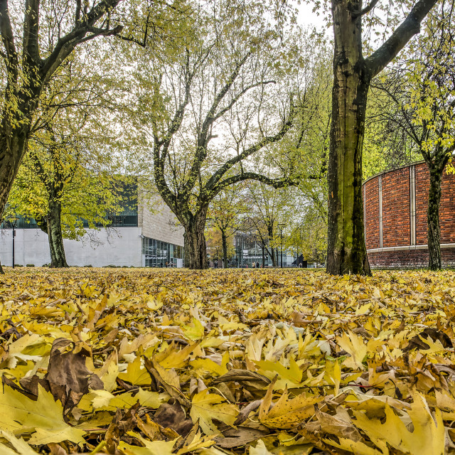 """""""Maple leaves in Museumpark"""" stock image"""