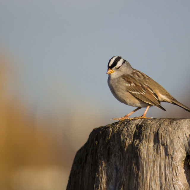 """white crowned sparrow perched on tree stump"" stock image"