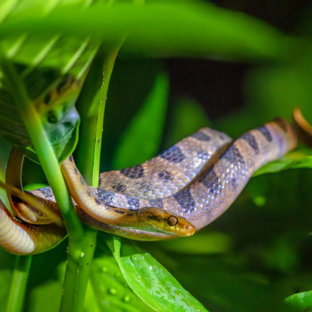 """""""Banded Cat-eyed Snake (Leptodeira annulata) in Costa Rica"""" stock image"""