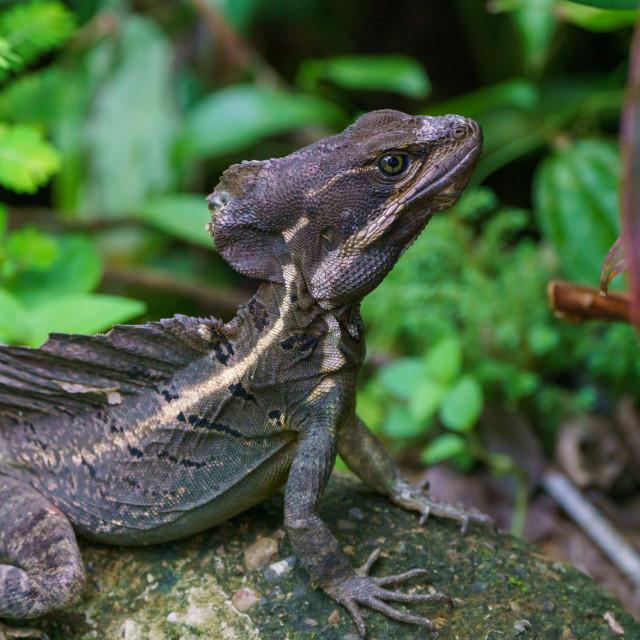 """Brown Basilisk (Basiliscus vittatus) in Costa Rica"" stock image"