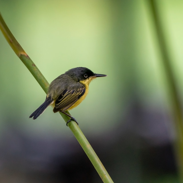 """Common Tody Flycatcher (Todirostrum cinereum) in Costa Rica"" stock image"