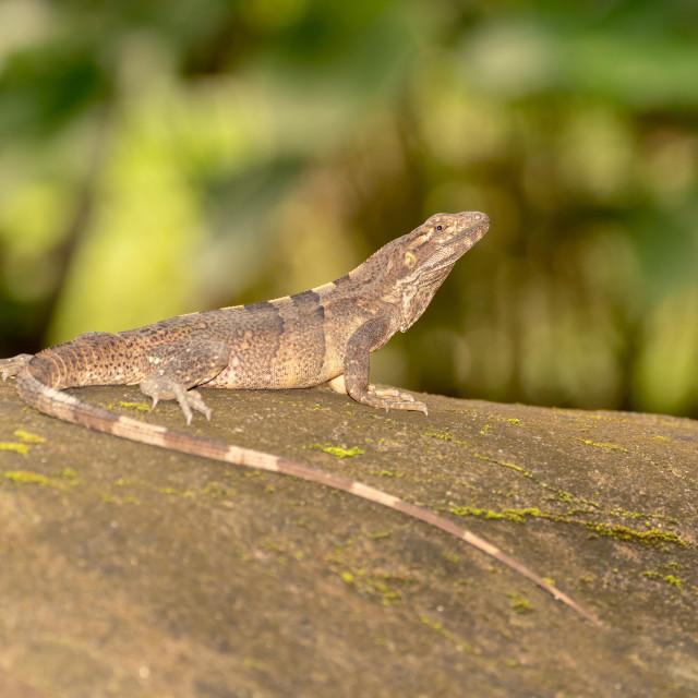 """Black Spiny Tailed Iguana (Ctenosaura similis), taken in Costa Rica"" stock image"