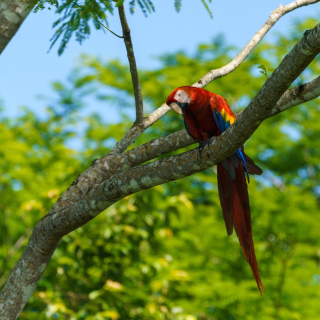 """Scarlet Macaw (Ara macao) taken in Costa Rica"" stock image"