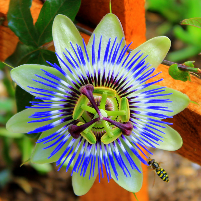 """""""Passion Flower."""" stock image"""
