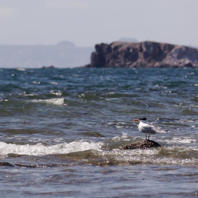 """Caspian Tern views the horizon"" stock image"