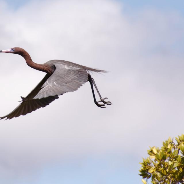 """Reddish Egret in flight"" stock image"
