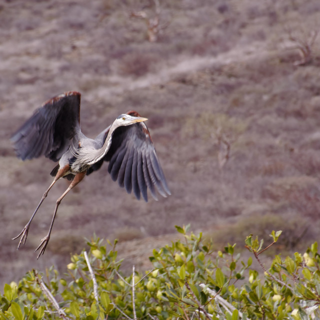"""Grey Heron takes off"" stock image"