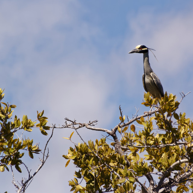 """Yellow-crowned Night Heron"" stock image"