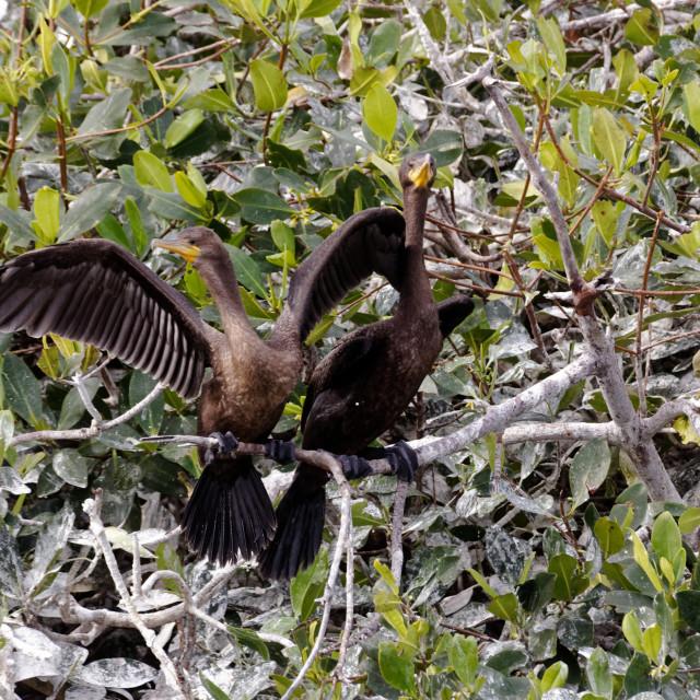 """""""Cormorants"""" stock image"""
