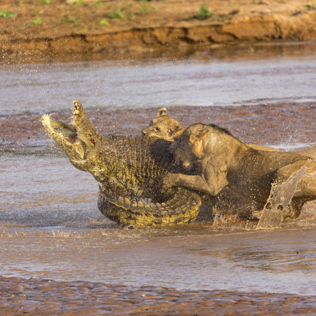 """""""1959 - Kenya: a crocodile fighting with lions in the Ewaso Ngiro River (1)"""" stock image"""