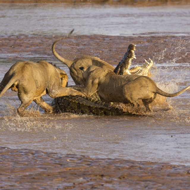 """""""1961 - Kenya: a crocodile fighting with lions in the Ewaso Ngiro River (2)"""" stock image"""