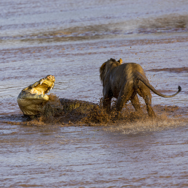 """""""1994 - Kenya: a crocodile fighting with lions in the Ewaso Ngiro River (3)"""" stock image"""