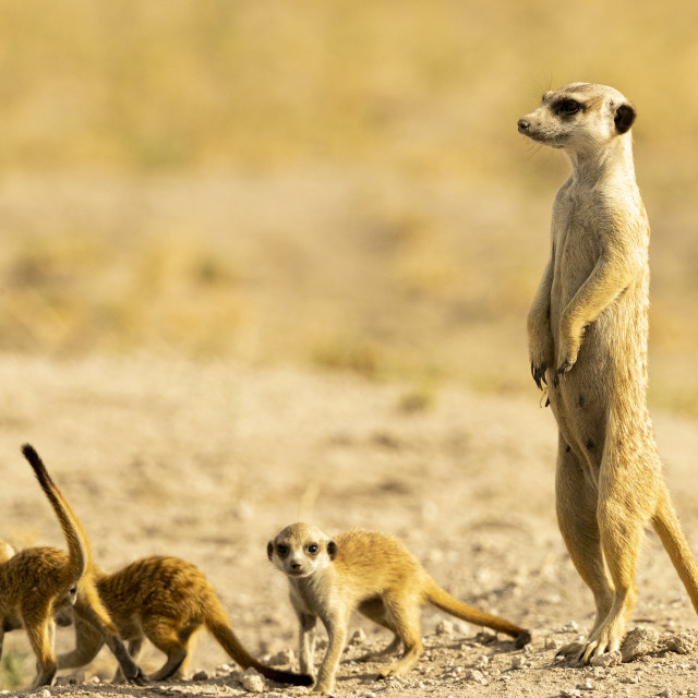 """""""1570 - Botswana: meerkat with youngsters"""" stock image"""