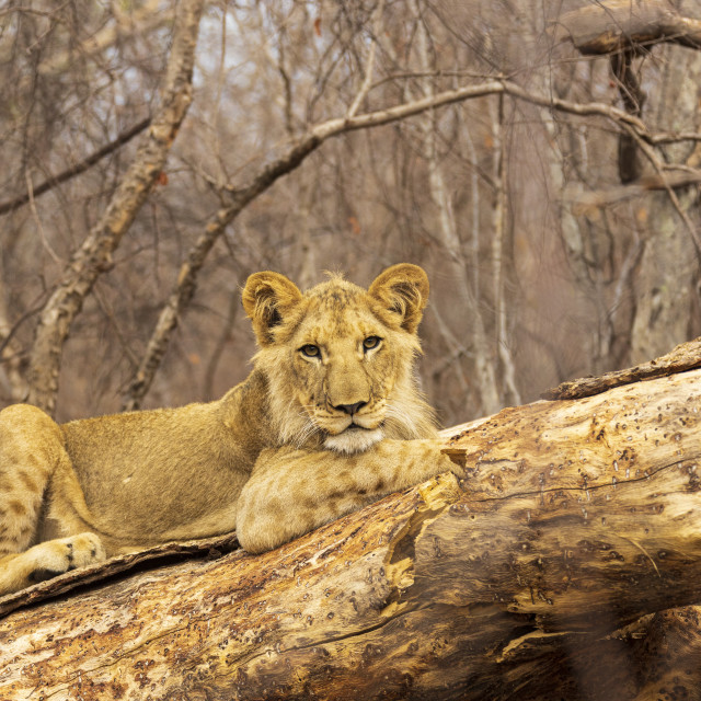 """""""2221 - a young lion in Zimbabwe"""" stock image"""