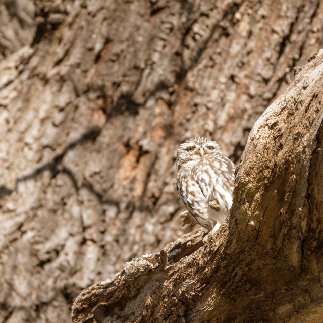 """Little Owl (Athene noctua)"" stock image"