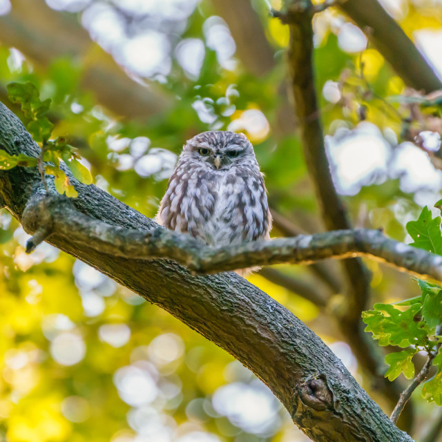 """Little owl (Athene noctua) perched on a branch in late evening, taken in the UK"" stock image"