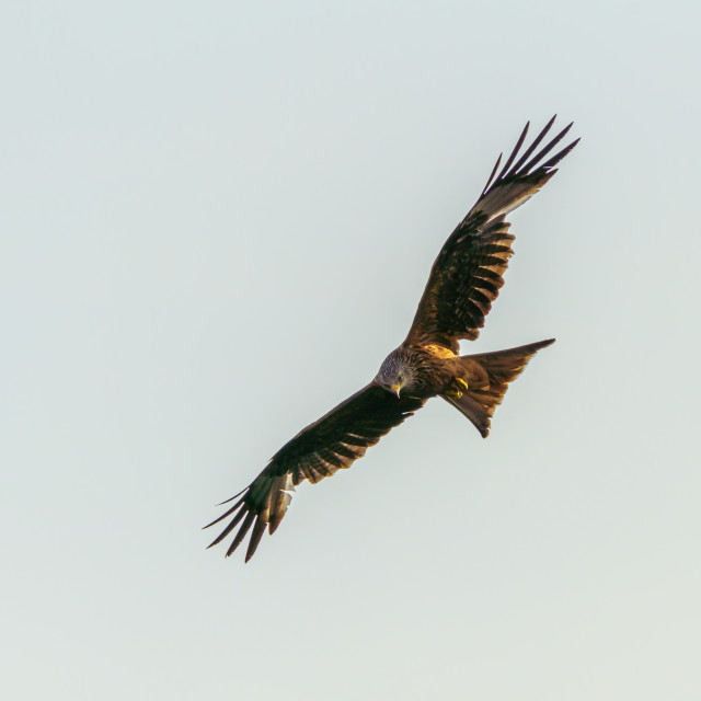 """Red Kite (Milvus milvus), taken in the UK"" stock image"