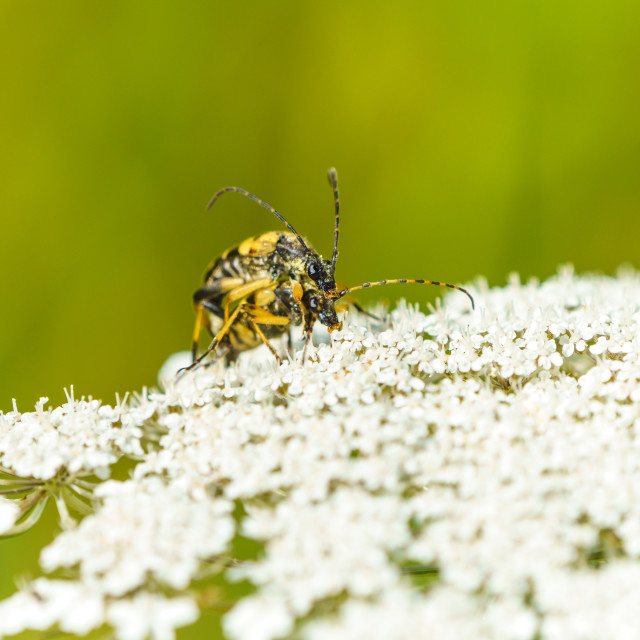 """Black-and-yellow Longhorn Beetle (Rutpela maculata) in the UK"" stock image"