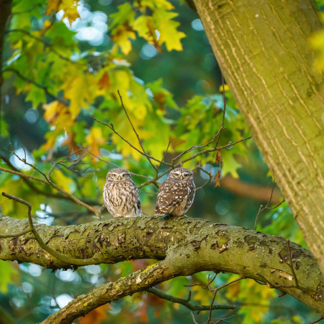 """A pair of Little Owl (Athene noctua) perched together on a branch in Autumn,..."" stock image"