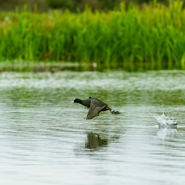 """Coot (Fulica atra), taken in the UK"" stock image"