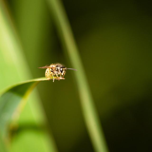 """common wasp (Vespula vulgaris), taken in the UK"" stock image"