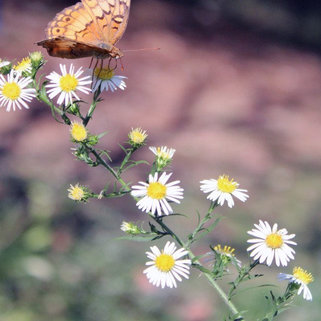 """brown butterfly"" stock image"