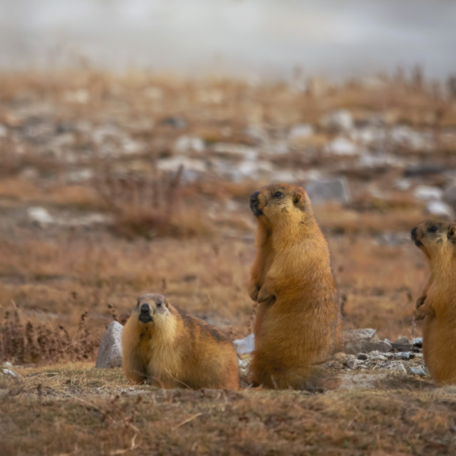 """Long-tailed marmot"" stock image"