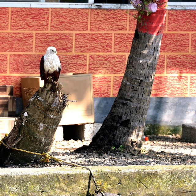 """Esa Eagle of Kerala on a tree stump"" stock image"