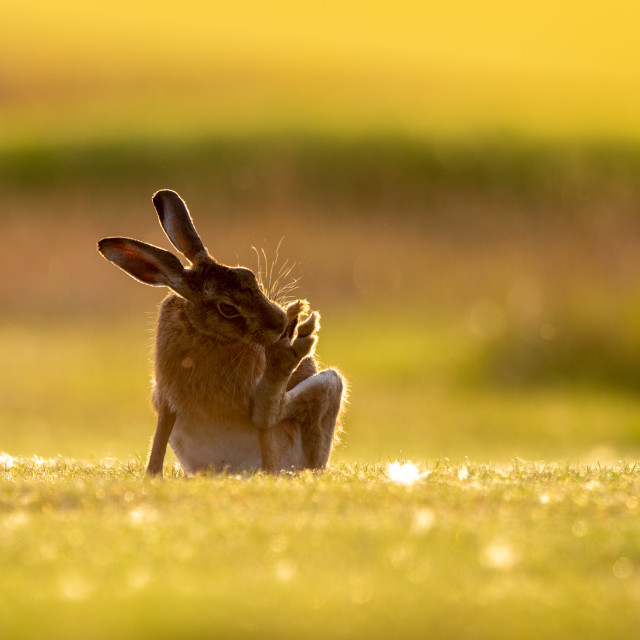 """Hare"" stock image"