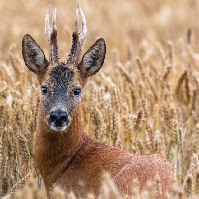 """Buck roe deer in corn field"" stock image"