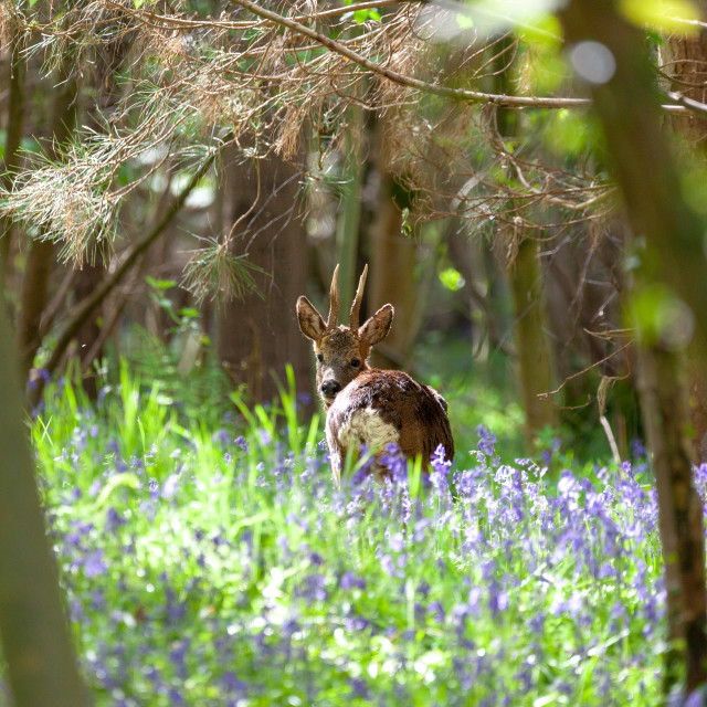 """Deer in blue bells"" stock image"