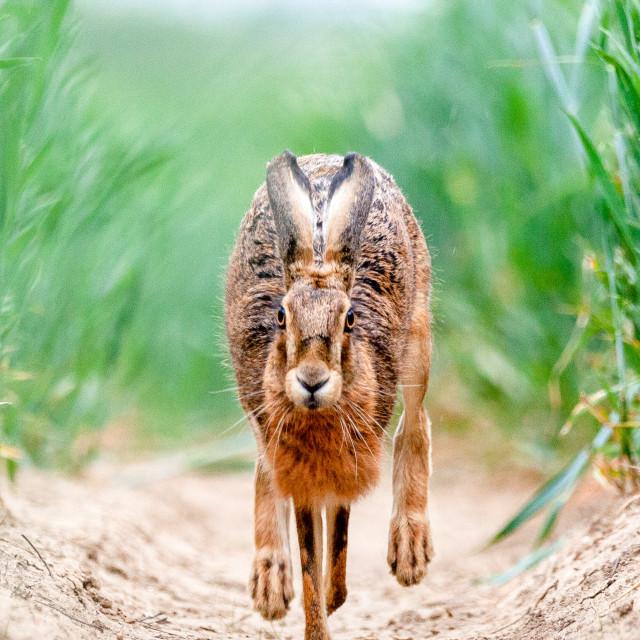 """""""Hare running"""" stock image"""