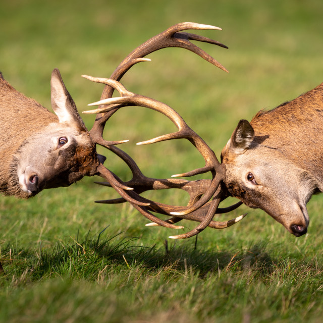 """Rutting dear stag"" stock image"