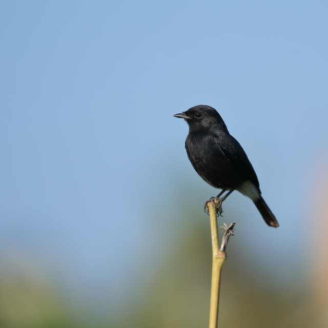 """""""Pied bush chat male"""" stock image"""
