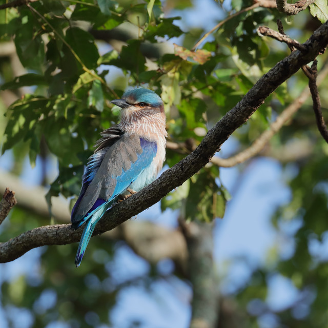 """The Indian roller"" stock image"