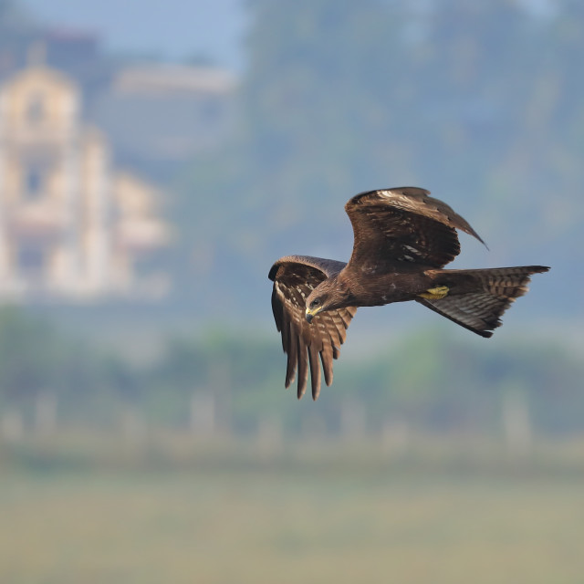 """The black kite"" stock image"