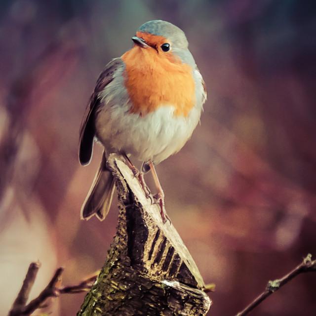 """Robin Gracing My Garden"" stock image"