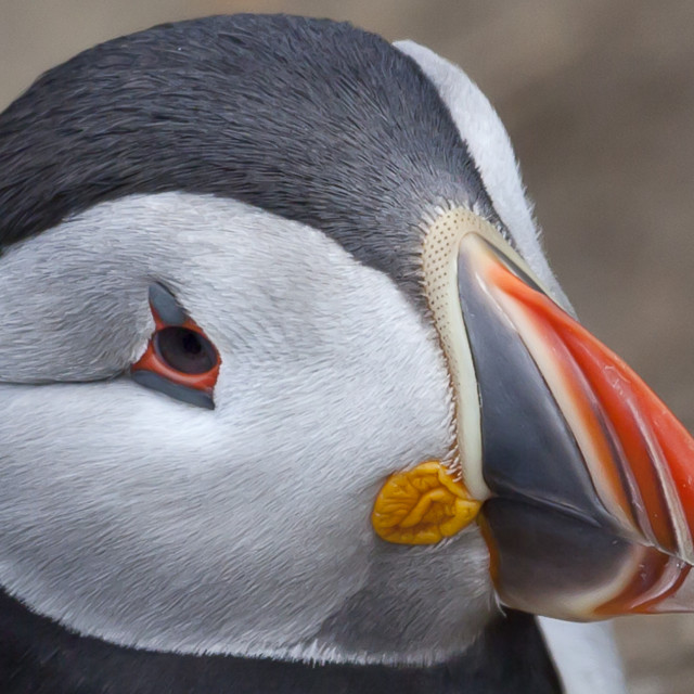 """""""Close up of a puffin's face"""" stock image"""